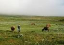 Godt beite for hestene er alfa og omega for valg av leirplass. John Geir er tidlig oppe for å flytte hestene. Foto: Evald Bjerkli