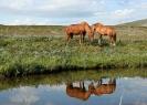 Fra Jovnnajávri. Ragna og Frida, begge hestene innleid fra Trollvik. Frida hadde litt vansker med å finne plassen sin i en ny hesteflokk, men ellers viste de seg å være stødige fjellhester. Foto: Evald Bjerkli